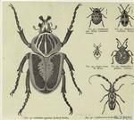 Goliathus giganteus (Goliath beetle)