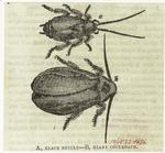 Black beetle ; giant cockroach