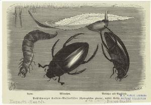 Pechschwarzer Kolben = Wasserkäfer (Hydrophilus piceus), natürl. Größe.