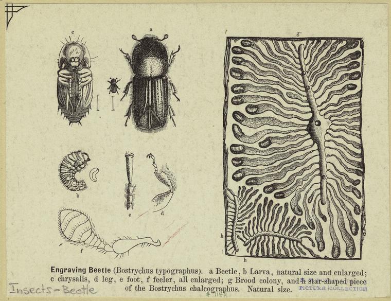 Engraving beetle (Bostrychus typographus).