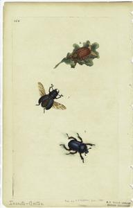[Winged beetle, beetle on leaf, and beetle.]