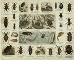 Various Types Of Beetles, Some Also Depicted In Larval And Pupal Stages.
