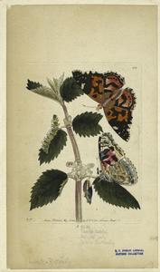 Papilio Cadui ; Painted lady ; Thistle butterfly.