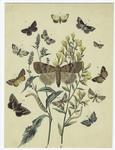 [Moths, caterpillars, and