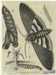 Agrotis Mayia (Corn Cut-Worm).