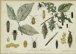 Elm Leaf Beetle And Bag Or Basket Worm.