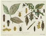 Park and woodland insects. Elm leaf beetle and bag or basket worm.