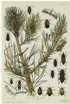 Insects Affecting Hard Pine.