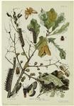 Insects Affecting Oak.
