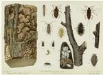 Elm borers and elm bark l