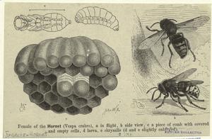 Female of the hornet (Vespa crabro).