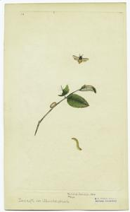 [Insect, pupae on branch, and caterpillar.]