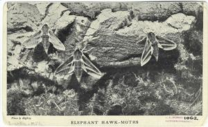 Elephant hawk-moths.