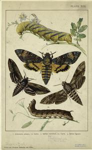 [Death's head moth ; Hawk moths.]