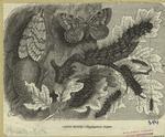 Gipsy-moth --Hypogymna dispar