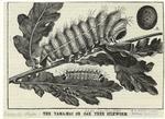 The Yama-Mai Or Oak Tree Silkworm.