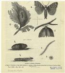 Rostera Cothonisia.