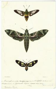 Macroglosse pélage ; Deiléphile du laurier rose ; Syntomide élégante.