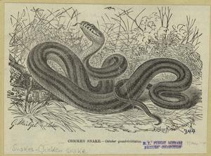 Chicken snake : coluber quadrivittatus.