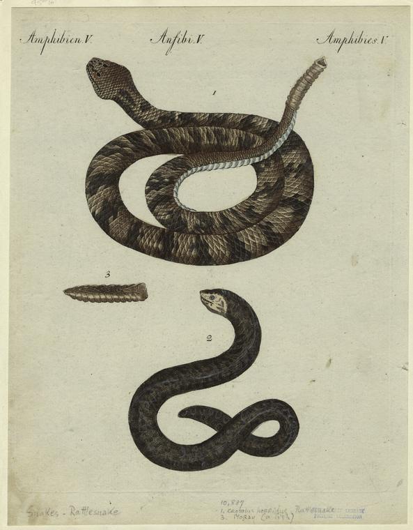 [Crotalus horridus--rattlesnake ; moray.]
