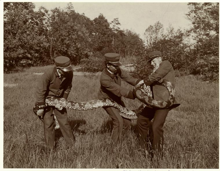 [Park employees holding a snake, 1906.]