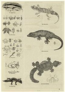 Egyptian gecko ; Milius's gecko ; Seychelles gecko ; Smooth headed gecko ; Banded gecko.