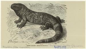 Crust lizard--Heloderma horridum.