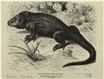 Galapagos land lizard (on