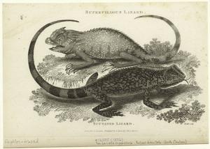 Supercilious lizard ; Scutated lizard.