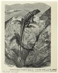 Halsbandleguan, Crotaphytus Collaris Say. 1/2 Natürlicher Größe.