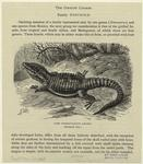 Cape Girdle-Tailed Lizard (Natural Size.)