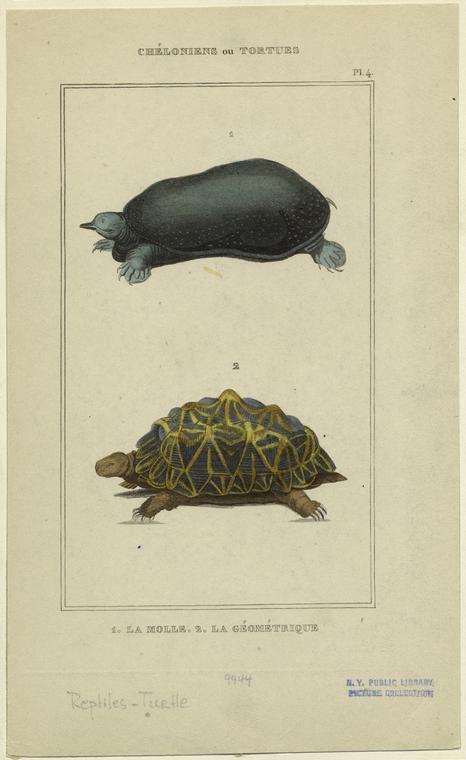 Chéloniens ou tortues.