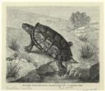 Kaspische Wasserschildkröte, Clemmys Caspica Gm.