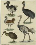 Walgvogel (Didus) ; Kiwi