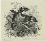 Goldbartvogel, Xantholaema Haematocephala P. L. S. Müll, 3/5 Natürlicher Größe.