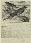 Hedge-Sparrow And Alpine Accentor (1/2 Nat. Size).