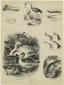 Skull of duck ; Royal swan mark ; Flamingoes and nest ; Upper mandible of shoveller, lower jaw of duck ; Feet of water-birds ; Group of water-fowl ; Oraithorhynchus.