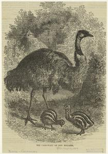 The cassowary of New Holland.