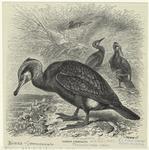 Common Cormorant.