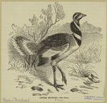 Little Bustard - Otis Tetrax.