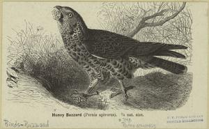 Honey buzzard (Pernis apivorus) 1/5 nat. size.