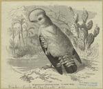 Klippenvogel (Rupicola cr