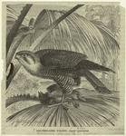 Red-throated falcon -- Ib