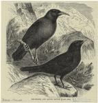 Red-billed, and alpine ch