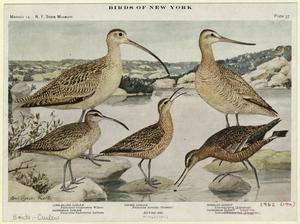 Long-billed curlew ; Hudsonian curlew ; Eskimo curlew ; Marbled godwit ; Hudsonian godwit.