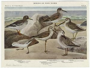 Birds of New York.