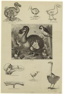 [Dodos.] Digital ID: 820503. New York Public Library