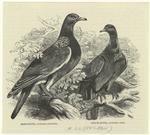 Ring-dove -- Columba palu