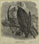 African sea eagle (one-fi