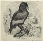 Bateleur eagle (1/5 nat.